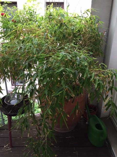 Der Brutplatz Von Balkonseite Aus. So Ein Bambus Schützt Vor Neugierigen Blicken