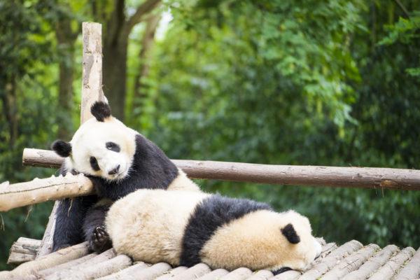 Das Panda-Syndrom Bei Paaren: Kuscheln Statt Leidenschaft