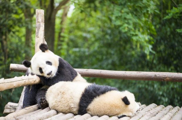 Panda-Syndrom Bei Paaren: Kuscheln Statt Leidenschaft